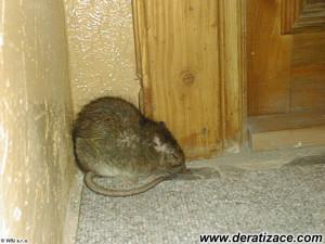 Potkan v koutě