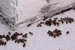 mravenci invaze