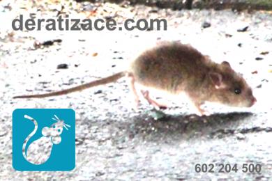 Jak vyhubit potkany myši Praha cena